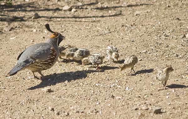 Quail Dad and his Brood