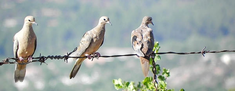 Three Doves on the Wire